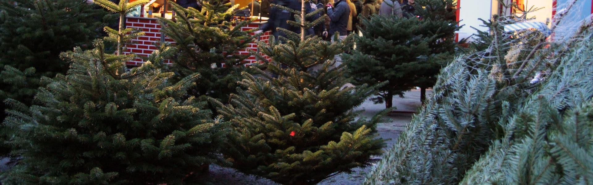 Tannenbaumschlagen in den schönsten Schonungen zur Weihnachtsfeier mit b-ceed