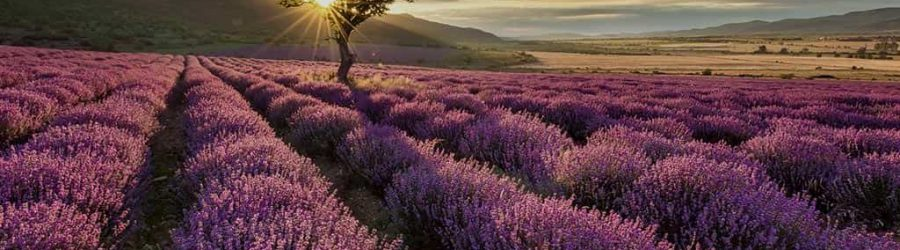 Der Krimi zum Dinner: Tod auf dem Lavendelfeld